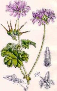 Géranium (Pelargonium ou geranium)