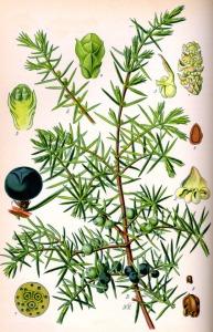 Genèvrier (Juniperus communis)