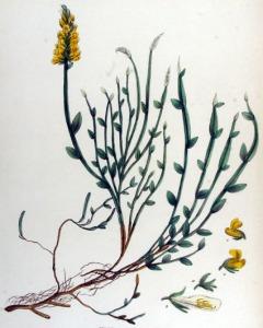 Genêt ailé - (Genista sagittalis)