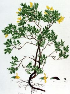 Genêt pileux - (Genista pilosa)