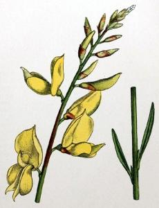 genet-d-espagne---spartium-junceum