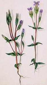 Gentiane champêtre (Gentianella campestris L.)