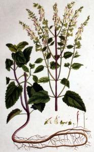 Germandrée scorodoine (Teucrium scorodonia L.)