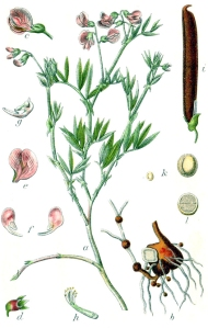 Gesse de montagne (Lathyrus montanus L.)