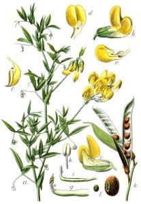 Gesse des prés (Lathyrus pratensis L.)