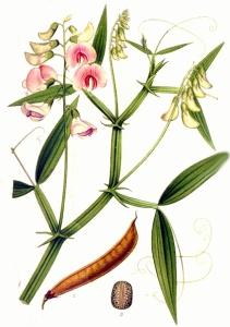 Gesse sauvage (Lathyrus sylvestris L.)