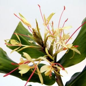 Gingembre Papillon (Hedychium coronarium)
