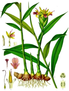 Gingembre (Zingiber officinale)