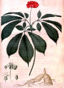 Ginseng (Panax gingseng)
