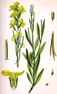 Giroflée des murailles (Cheiranthus chéiri L.)