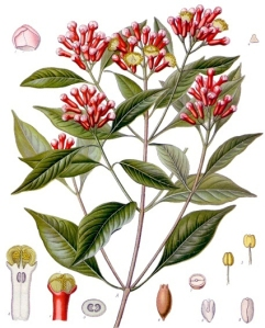 Girofle (Syzygium Aromaticum)
