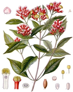 Giroflier (Syzygium aromaticum L.)