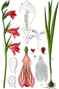 Glaieul des marais (Gladiolus palustris Gaud.)