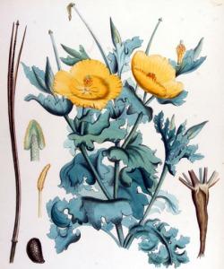 Glaucienne jaune (Glaucium flavum)