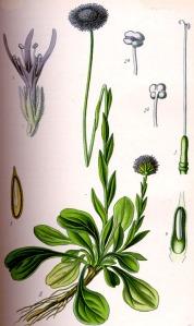 Globulaire (Globularia vulagaris)