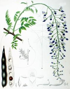 Glycine (Wisteria sinensis)