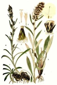 Gnafale de Norvège - (Gnafalium norvegicum)