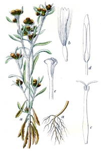 Gnaphale des marais (Filaginella uliginosa L.)