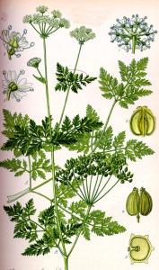 Grande ciguë (Conium maculatum L.)