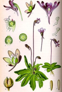 Grassette commune - (Pinguicula vulgaris)