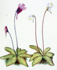 Grassette des Alpes (Pinguicula alpina)