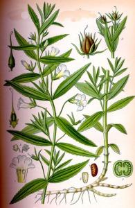 Gratiole (Gratiola officinalis)