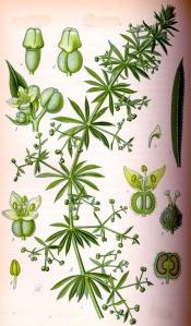 Gratteron (Galium aparine)