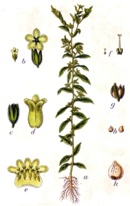 Grémil officinal (Lithospermum officinale)