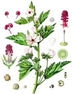 Guimauve (Althaea officinalis)