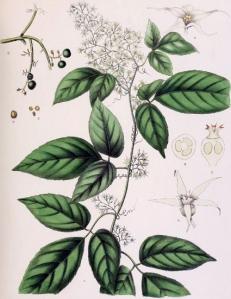 Gynostemma pentaphyllum (jiaogulan)