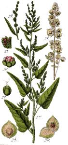 Arroche des jardins (Atriplex hortensis)