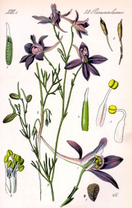 Dauphinelle des champs (Delphinium consolida)