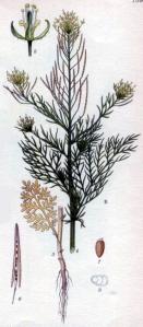 Descurainia sophia - Besenrauke