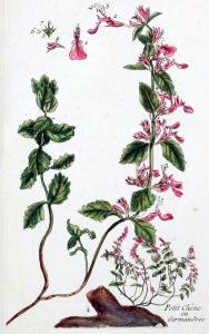 Germandrée petit-chêne (Teucrium chamaedrys)