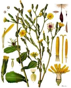 Laitue vireuse (Lactuca virosa)