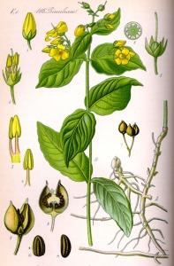Lysimaque commune (Lysimachia vulgaris)