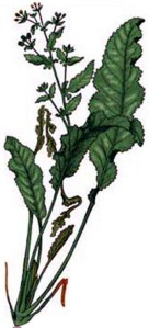 Menthe-coq (Tanacetum balsamita)