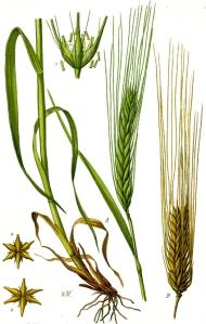 Orge commune (Hordeum vulgare)