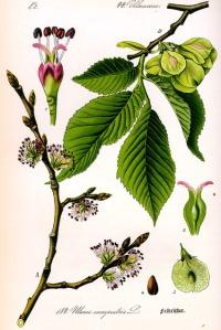 Orme champêtre (Ulmus minor)