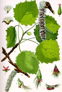 Peuplier Tremble (Populus tremula)