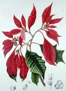 poinsettia-euphorbia-pulcherrima
