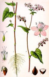 Sarrasin (Fagopyrum esculentum)