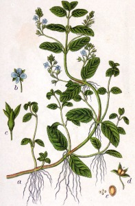 Véronique des ruisseaux (Veronica beccabunga)