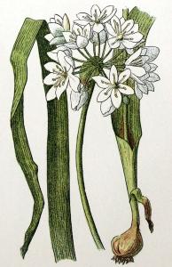 Ail blanc (Allium neapolitanum)