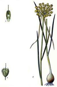 Ail jaune (Allium flavum)