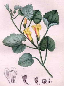 Asarine couchée (Asarina procumbens)