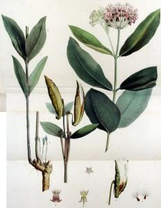 Asclépiade de Syrie (Asclepias syriaca)