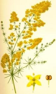 Caille-lait jaune (Galium verum)