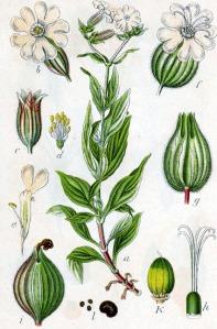 Compagnon blanc (Silene latifolia)