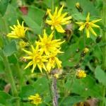 Crépide à feuilles de vergerette (Crepis conyzifolia)